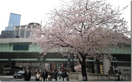 001日本橋桜